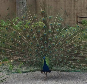 Peacock_Full_Display