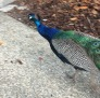 Peacock_St_Augustine2